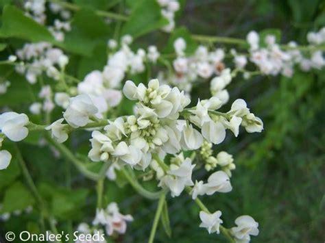 Coral Vine White Seeds (antigonon Leptopus ''alba