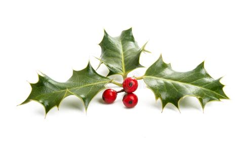 christmas plant red poinsettia flower stock photo image