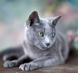 russian blue cat pictures pin by lewis on i