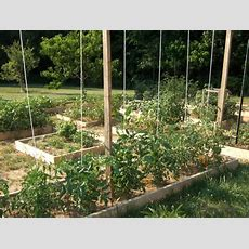 5 Ways To Trellis Tomato Plants  Slow Food Asheville