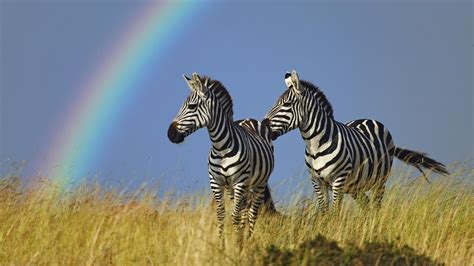 All Wallpapers Zebra Hd Wallpapers 2013