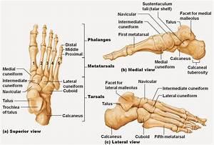 Ankle Bones Diagram   Ankle Bones Diagram Pictures Ankle