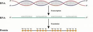 from dna to rna to protein how does it work With when an rna strand forms using dna as a template
