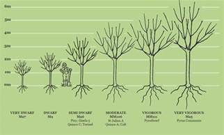 rootstocks fruit trees sizes and rootstocks apple apricot cherry pear plum buy