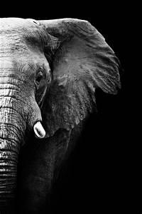 Schwarz Weiß Bilder Tiere : stilvolles bild elefanten als kunstobjekt ~ Markanthonyermac.com Haus und Dekorationen