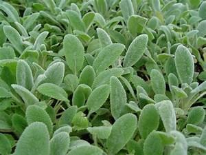 Acheter Des Plantes : stachys byzantina 39 silver carpet 39 plantes vivaces acheter des plantes en ligne ~ Melissatoandfro.com Idées de Décoration
