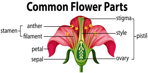 Diagram Of Flower Part by What Part Of The Flower Contains Pollen Howtowall Co