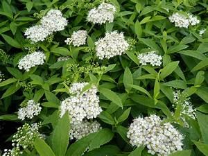 Rankpflanzen Winterhart Immergrün : bodendeckerpflanzen online kaufen spiraea albiflora ~ A.2002-acura-tl-radio.info Haus und Dekorationen