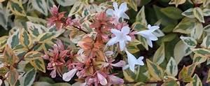 Abelia Grandiflora Kaleidoscope : glossy abelia abelia x grandiflora 39 kaleidoscope 39 ~ Melissatoandfro.com Idées de Décoration