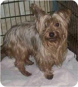 Velvet-LOVES DOGS   Adopted Dog   Oak Ridge, NJ   Silky ...