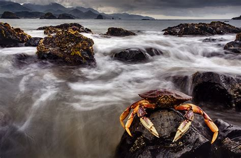 dungeness crab low tide cannon beach oregon flickr