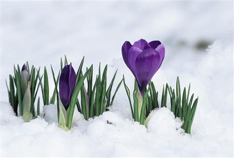 pictures of crocus crocus flower in the snow photograph by david aubrey