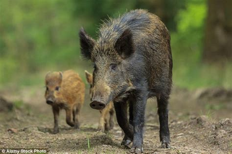 Wild Boar Roaming The Forest Of Dean Are Plaguing