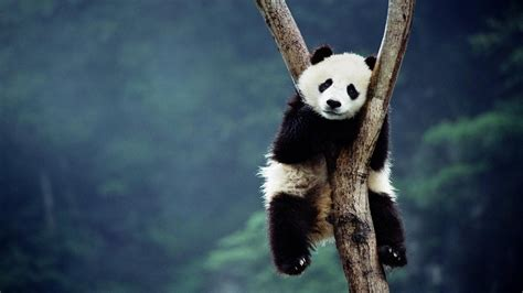Hd Wallpapers 1366x768 Animals - wallpapers 1366x768 china animals panda