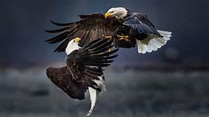 Bald Eagles Fight The Air Hd Desktop Wallpaper ...