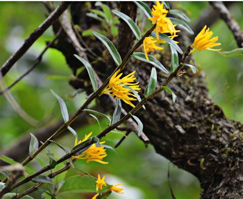 Dendrobium jerdonianum from Western Ghats, India | Orchids Forum