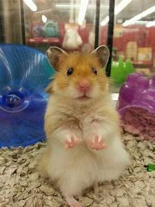 cute hamster via Petco | Animals | Pinterest | Pictures of ...