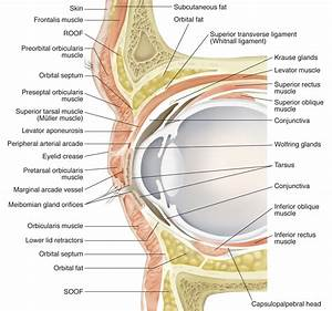 Upper And Lower Eyelid Anatomy
