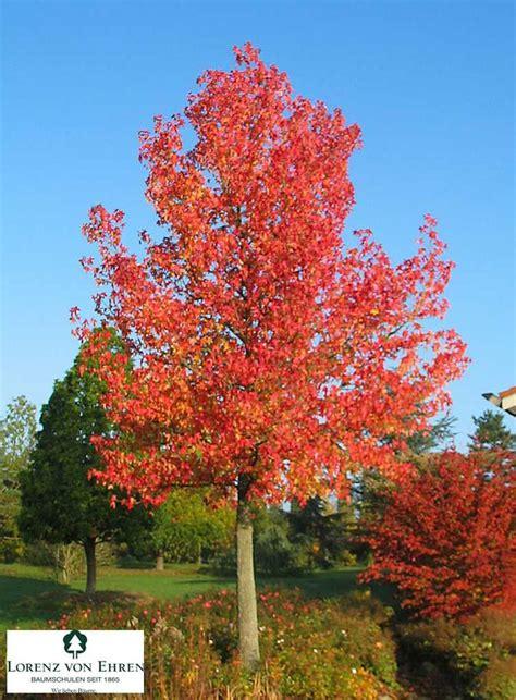 sweet gum tree liquidambar ideas for my garden pinterest trees sweet and sweet gum