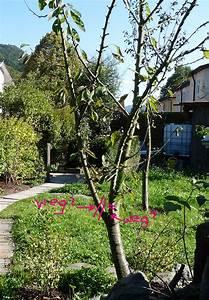 Kirschbaum Richtig Schneiden : alten kirschbaum schneiden s kirsche schneiden anleitung ~ Lizthompson.info Haus und Dekorationen