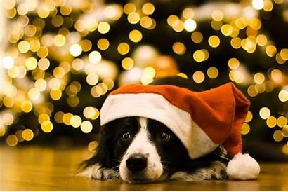 Border Dogs Wallpapers Collie Dog Desktop Animal