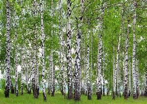 Fototapete Tapete Wald Bume Birken Foto 360 X 254 Cm