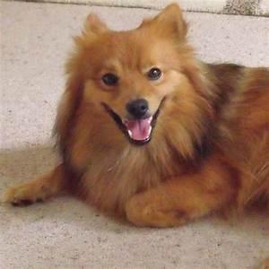 Brown Japanese Spitz Dog | www.imgkid.com - The Image Kid ...