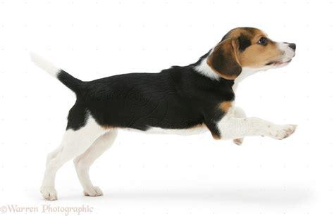 Dog Beagle Pup Leaping P O Wp