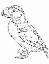 Puffin Coloring Horned Printable Coloringonly sketch template