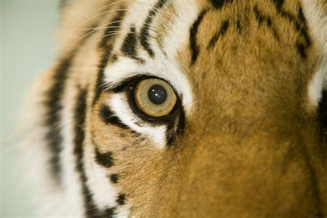 tiger eye a siberian tiger eye at the oregon zoo jesse scarpelli