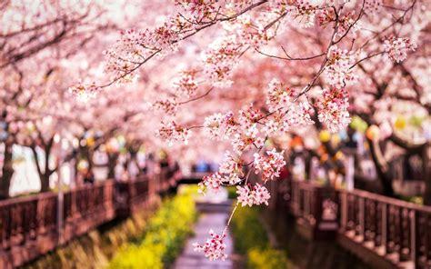 wallpaper sakura bloom spring japan  hd picture