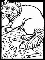 Coloring Pages Raccoon Printable sketch template