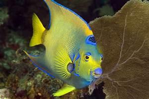Photos of Angelfishes (family Pomacanthidae)