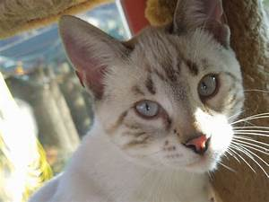 Bengal Snow Marble Male Kitten For Sale | Northampton ...