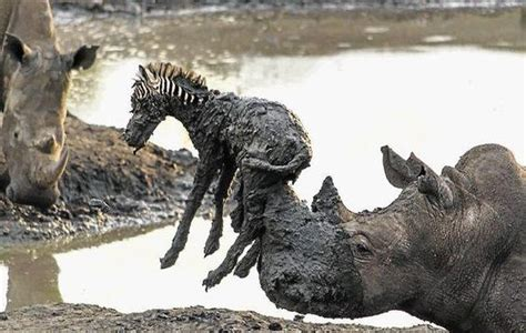 rhino saving  baby zebra   stuck   mud