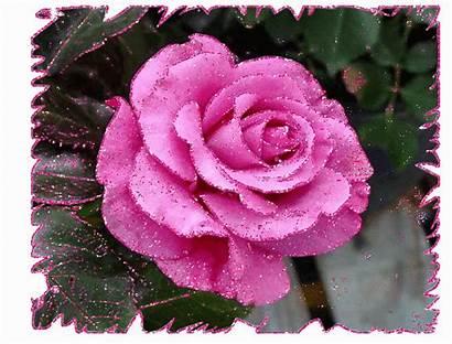 Roses Rose Jolies Couleur Scintillantes Scintillante Centerblog