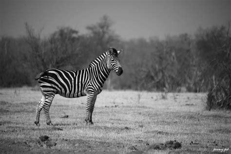 photo du jour noir et blanc zebr 233 l 233 t 233 tan