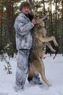 lay siege as 400 wolves lay siege to a these