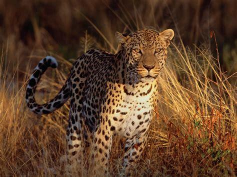 Intense Focus Leopard #4212160, 1600x1200  All For Desktop