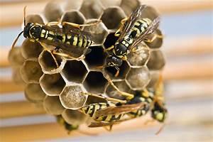 Was Wespen Nicht Mögen : wespennest voorkomen de tips om overlast tegen te gaan avonda ~ Markanthonyermac.com Haus und Dekorationen