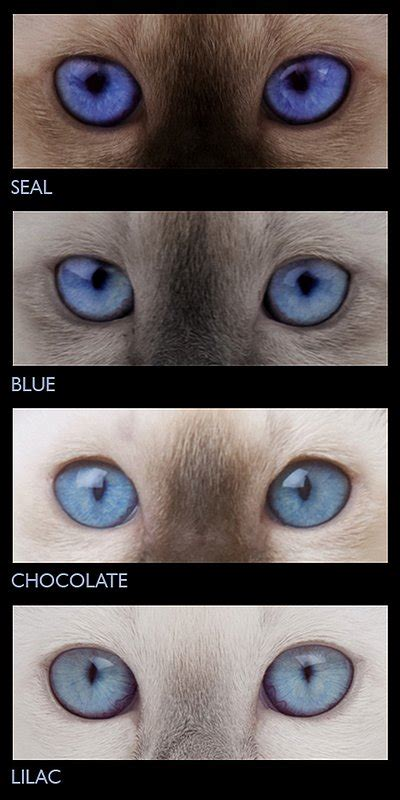 kitten eye color eye colour tonkinese cats kittens queensland