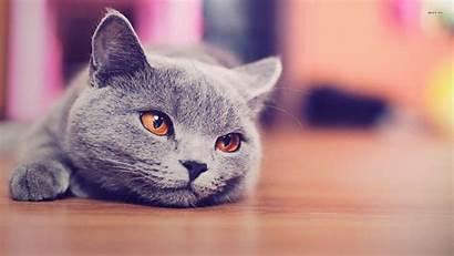 Cat Shorthair British Russian Animals Background Wallpapers