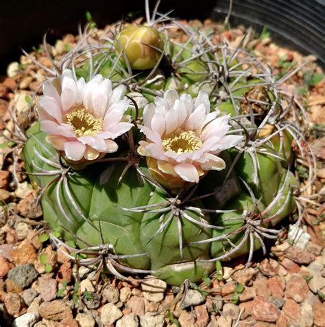 Gymnocalycium saglionis - Cactus Jungle