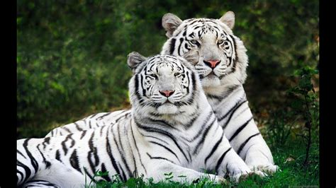 Amazing White Tigers Playing Amazingly With Friends