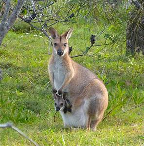 red wallaby with joey « margosnotebook