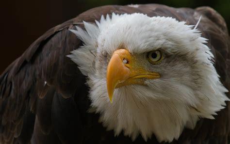 Bald Eagle Images Bald Eagle Hd Wallpapers American Eagle Hd Pictures Hd