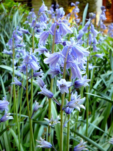 bluebell state by state gardening