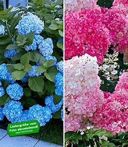 Hortensien Wann Schneiden : hortensien pflanzen zeitpunkt hortensien pflanzen ~ Lizthompson.info Haus und Dekorationen