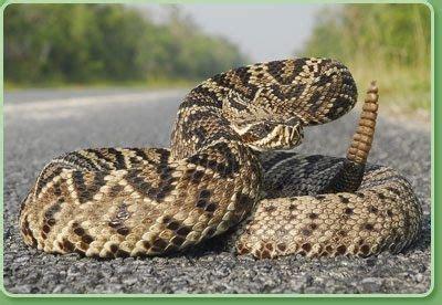 diamondback rattlesnakes  florida quora