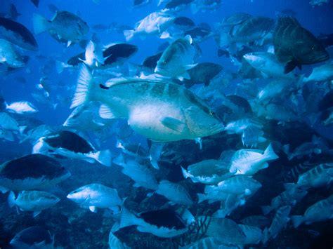 grouper nassau fish chuck risk knapp aquarium shedd credit